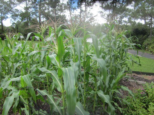 6' tall corn