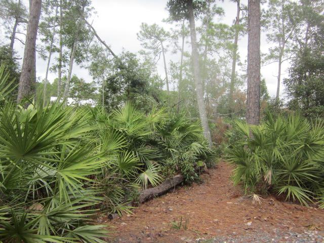 Toppling Pine Tree